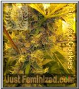 Cali Connection Girl Scout Cookies Cannabis Seeds Marijuana Strain